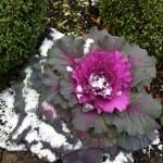 Ornamental cabbage from next door's garden