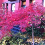 The glorious Japanese maple